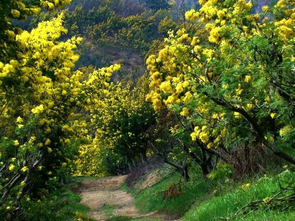 Kết quả hình ảnh cho mùa hoa Mimosa tại đà lạt